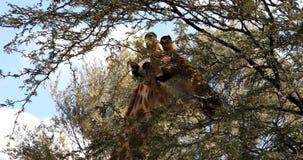 Giraffe sveglie, fauna selvatica del Sudafrica stock footage