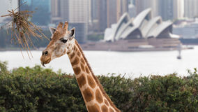 Giraffe in Sydney. Sydney - February 29, 2016: Beautiful Sydney Opera House, and the highest in Taronga zoo giraffe, February 29, 2016, Sydney, Australia Stock Image