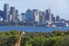 Giraffe and Sydney. View of Sydney from Taronga zoo, Sydney Stock Photo