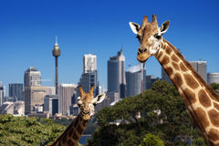 Giraffe Sydney Zoo. Two giraffes in Taronga Zoo Sydney in front of skyline Royalty Free Stock Photo