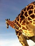 Giraffe. Taken at a local zoo Stock Photos