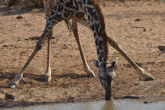 Giraffe taking a drink. Giraffe takes a drink from the watering hole Stock Photos