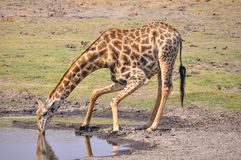 Giraffe taking a quick drink of water. Stock Photo