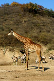 Giraffe with  takins. A giraffe stand in the takin crowd Royalty Free Stock Image