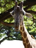 Giraffe talk. Unlike people, a giraffe can talk about what it sees behind an elephant's ears Royalty Free Stock Image