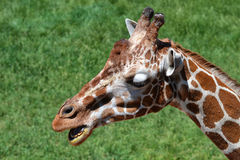 Giraffe talking. A close up of a giraffe with its mouth open, seeming to talk Royalty Free Stock Photos