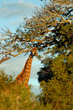 Giraffe by tall trees royalty free stock images