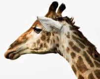 Giraffe. The tallest living terrestrial animal Royalty Free Stock Photos