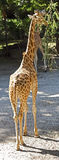 Giraffe 4 Royalty Free Stock Photography
