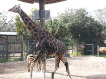 Giraffe an Tampa-Zoo Stockfotos