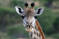 Giraffe - Tanzania, Africa Stock Photo