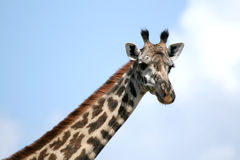 Giraffe in Tanzania, Africa Royalty Free Stock Images