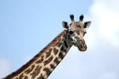 Giraffe in Tanzania, Africa Royalty Free Stock Images