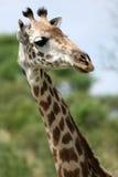 Giraffe - Tanzania, Africa Stock Photos