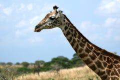 Giraffe in Tanzania, Africa Royalty Free Stock Photos