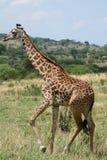 Giraffe - Tanzania, Africa Royalty Free Stock Images