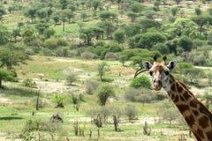 Giraffe - Tarangire National Park. Tanzania, Africa Stock Photography