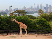 Giraffe Taronga City. Giraffe at Taronga zoo feeding with Sydney CBD skyscrapers in the background Stock Image