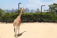 A giraffe in Taronga Zoo Australia. A giraffe in Taronga Zoo with Sydney City view Royalty Free Stock Photography