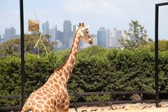 A giraffe in Taronga Zoo Australia. A giraffe in Taronga Zoo With Sydney City view Royalty Free Stock Images