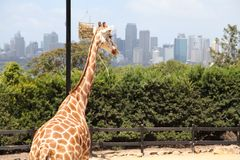 A giraffe in Taronga Zoo Australia. A giraffe in Taronga Zoo With Sydney City view Stock Photos