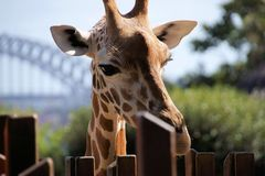 Giraffe at Taronga Zoo. Beautiful giraffe at Sydney Taronga Zoo, in Australia, with the Sydney harbour bridge in the background Royalty Free Stock Images