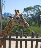 Giraffe in Taronga Zoo, Sydney. Head of a giraffe with Sydney skyline in the background Stock Photography