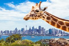 Giraffe at Taronga Zoo in Sydney. Australia. Giraffe at Taronga Zoo, Sydney looks towards the financial district. Australia Stock Photo