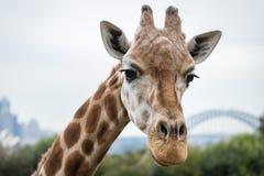 Giraffe at Taronga Zoo, Sydney, Australia royalty free stock image