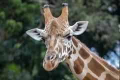 Giraffe at Taronga Zoo, Sydney, Australia stock image