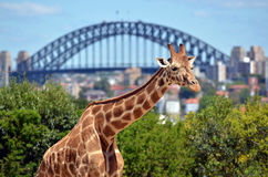 Giraffe in Taronga Zoo Sydney New South Wales Australia. Giraffe in Taronga Zoo against  Sydney Harbour Bridge in Sydney New South Wales, Australia Royalty Free Stock Photos