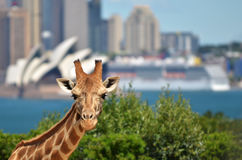 Giraffe in Taronga Zoo Sydney New South Wales Australia. Giraffe in Taronga Zoo against Sydney skyline New South Wales, Australia Stock Photos