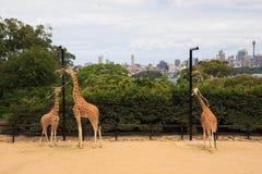 Giraffe am tarongazoo Stockfotos