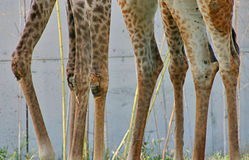 Giraffe Team Stock Images