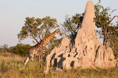 Giraffe by a Termite Mound. A giraffe walks behind a termite mound in the bushland of the Okavango Delta in Botswana Stock Photography