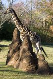 Giraffe with termites. A mound of termites with a magnificent giraffe walking past in the background Stock Photography