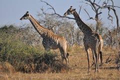 Giraffe, Terrestrial Animal, Wildlife, Grassland Royalty Free Stock Images
