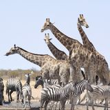 Giraffe, Terrestrial Animal, Wildlife, Herd Royalty Free Stock Photo