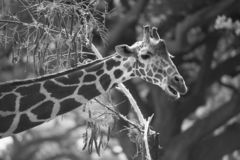 Giraffe in their wilderness and habitat stock photography