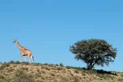 Giraffe and thorn tree stock photo