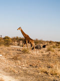 Giraffe and three wildebeest on African plain Stock Image