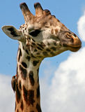 Giraffe with tick removing bird. And swarming flies against a blue sky royalty free stock photos
