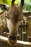Giraffe timide Photo stock