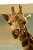 Giraffe Tonge. Giraffe licking Bronx Zoo 2014 Stock Image