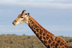Giraffe Tongue Royalty Free Stock Image
