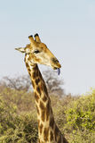 Giraffe tongue Stock Image