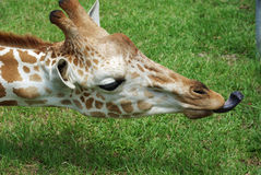 Giraffe Tongue. Giraffe reaching out for some food with its black tongue royalty free stock images