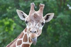 Giraffe tongue Royalty Free Stock Images