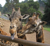 Giraffe with tongue out Stock Image