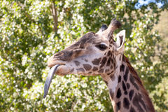Giraffe with tongue out Stock Photography